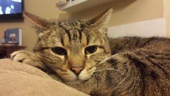 Domestic Shorthair/Domestic Shorthair Mix Cat for adoption in Mesa, Arizona - BUBBA