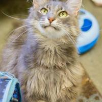 Domestic Longhair/Domestic Shorthair Mix Cat for adoption in Merriam, Kansas - Cassie