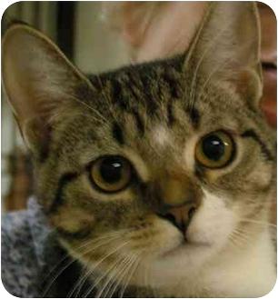Domestic Shorthair Cat for adoption in levittown, New York - Eva