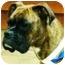 Photo 1 - Boxer Dog for adoption in Oswego, Illinois - I'M ADOPTED Brie Serdynski
