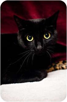 Bombay Cat for adoption in Houston, Texas - Petey