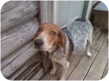 Bluetick Coonhound/Hound (Unknown Type) Mix Dog for adoption in Hagerstown, Maryland - Sally