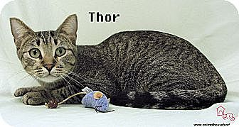 Domestic Shorthair Cat for adoption in St Louis, Missouri - Thor