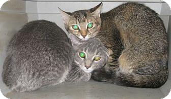 Bengal Kitten for adoption in Dallas, Texas - Reno