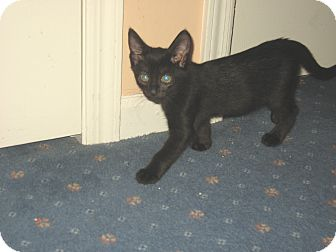 Domestic Shorthair Kitten for adoption in Hamilton, New Jersey - LICORICE