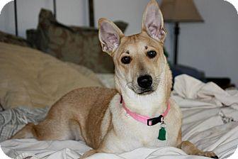 Carolina Dog Mix Dog for adoption in Flower Mound, Texas - Addie