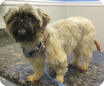 Shih Tzu Dog for adoption in Oak Ridge, New Jersey - Fern