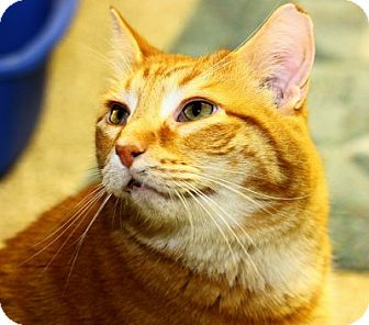 Domestic Shorthair Cat for adoption in Lombard, Illinois - Tom Tom