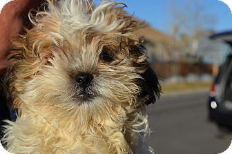 Lhasa Apso Mix Puppy for adoption in Westminster, Colorado - Jupiter