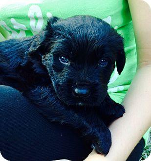 Labrador Retriever/Rottweiler Mix Puppy for adoption in Miami, Florida - Buster
