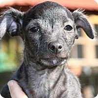 Adopt A Pet :: Simba - Burr Ridge, IL