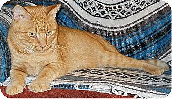 Domestic Shorthair Cat for adoption in San Antonio, Texas - Mercury