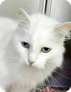 Domestic Longhair Cat for adoption in Albany, New York - Ocean