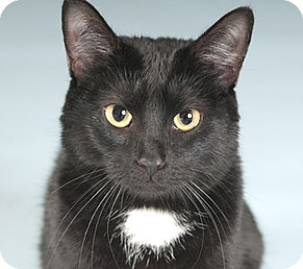 Domestic Shorthair Cat for adoption in Chicago, Illinois - Thief
