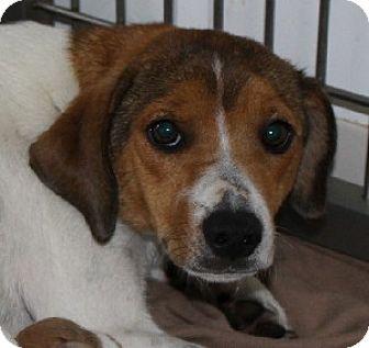 Beagle Mix Dog for adoption in Savannah, Missouri - Payton