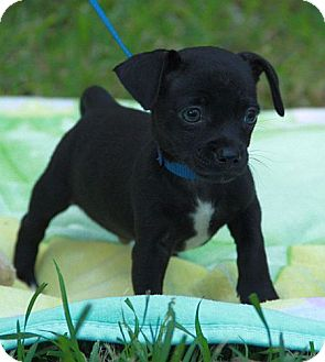 Jack Russell Terrier/Chihuahua Mix Puppy for adoption in Syracuse, New York - Mighty Moe