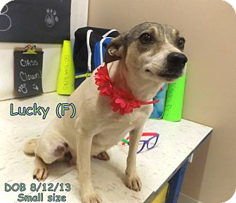 Jack Russell Terrier/Dachshund Mix Dog for adoption in Goldens Bridge, New York - Lucy*Good with dogs&kids