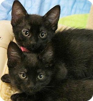 Domestic Shorthair Kitten for adoption in HILLSBORO, Oregon - Aurora
