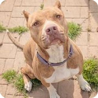 American Staffordshire Terrier Dog for adoption in Vancouver, British Columbia - Carolina