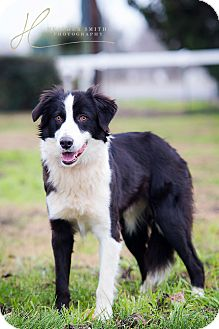 Border Collie Mix Dog for adoption in Corning, California - QUICK