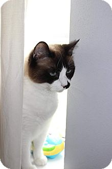 Snowshoe Cat for adoption in Arlington/Ft Worth, Texas - Gus