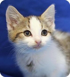 Domestic Shorthair Kitten for adoption in Winston-Salem, North Carolina - Crocket