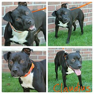 American Pit Bull Terrier Mix Dog for adoption in Garden City, Michigan - Claudius