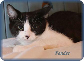 Domestic Shorthair Kitten for adoption in Lincoln, Nebraska - FENDER