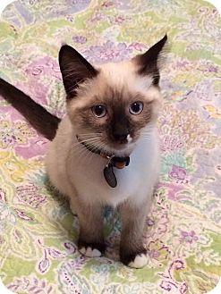 Siamese Kitten for adoption in Los Angeles, California - Luna