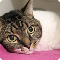 Domestic Shorthair Cat for adoption in Venice, Florida - Andy 2