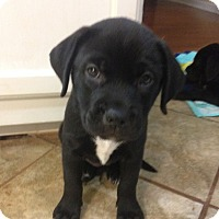 Adopt A Pet :: Lilly - Knoxville, TN