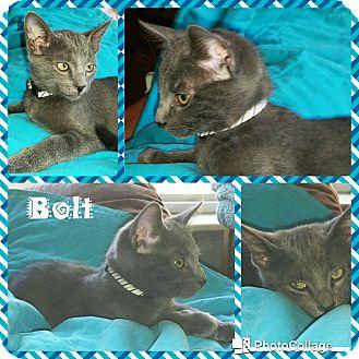 Domestic Shorthair Kitten for adoption in Arlington/Ft Worth, Texas - Bolt