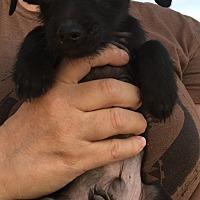 Adopt A Pet :: Scotty - Gilbert, AZ