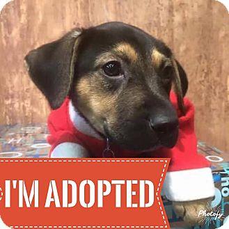 Pit Bull Terrier Mix Puppy for adoption in Regina, Saskatchewan - Ziva