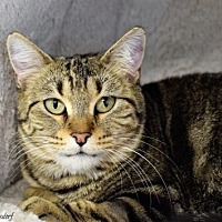 Domestic Shorthair Cat for adoption in Denver, Colorado - Loretta Pampa