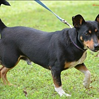 Adopt A Pet :: Willie Min Pin - Cat Spring, TX