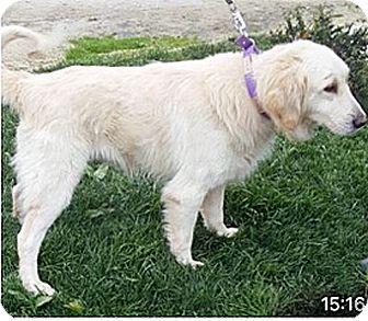 Golden Retriever Mix Dog for adoption in BIRMINGHAM, Alabama - T4 Valentino