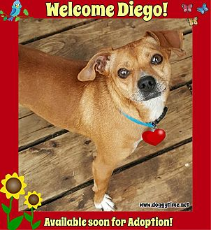 Chihuahua Dog for adoption in Warkworth, Ontario - Diego