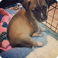 Adopt A Pet :: Cookie-urgent - Providence, RI