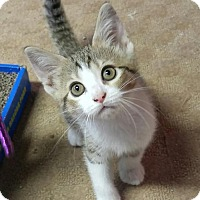 Adopt A Pet :: Lily - Sterling Heights, MI