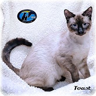 Siamese Cat for adoption in Howell, Michigan - Toast