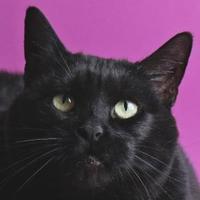 Adopt A Pet :: Black Velvet - Longmont, CO
