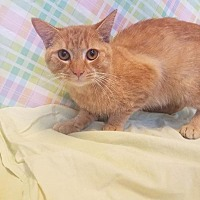 Domestic Shorthair Cat for adoption in Wintersville, Ohio - TIGER