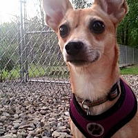 Adopt A Pet :: Brownie - Dunkirk, NY