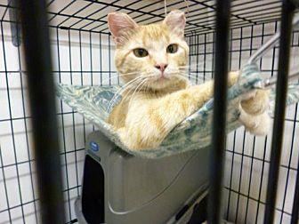 Domestic Shorthair Cat for adoption in Diamondville, Wyoming - Clara