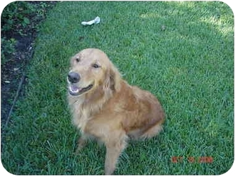 Golden Retriever Dog for adoption in Houston, Texas - Marley
