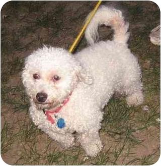 Bichon Frise/Poodle (Standard) Mix Dog for adoption in Kansas City, Missouri - Ramzee