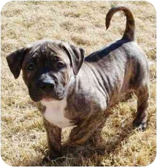 American Pit Bull Terrier/American Staffordshire Terrier Mix Puppy for adoption in Gilbert, Arizona - Reed