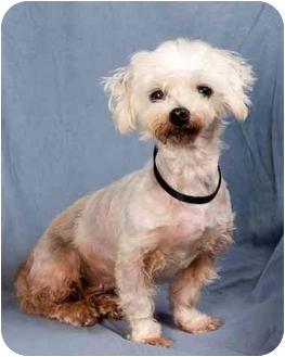 Maltese/Poodle (Toy or Tea Cup) Mix Dog for adoption in Anna, Illinois - GIGI
