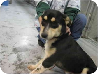 German Shepherd Dog Mix Puppy for adoption in Grants Pass, Oregon - Rosie